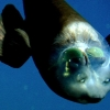 Barrelhead Fish has see-through head!